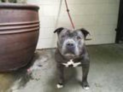 Adopt I1311878 a White - with Black Pit Bull Terrier / Mixed dog in Pomona
