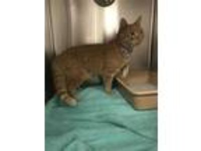Adopt *QUINCY a Orange or Red Tabby Domestic Shorthair / Mixed (short coat) cat