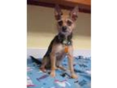 Adopt Landon - 9 pounds a Yorkshire Terrier, Terrier