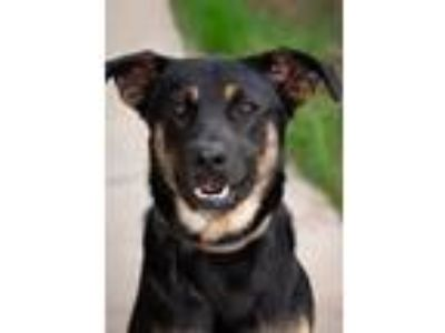 Adopt Louis a Shepherd (Unknown Type) / Rottweiler / Mixed dog in Ashland
