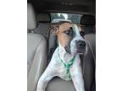 Adopt Travis a White - with Red, Golden, Orange or Chestnut Boxer / Hound