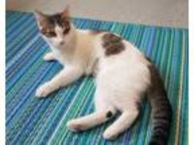 Adopt Lillian a Brown Tabby Domestic Shorthair / Mixed cat in Rochester