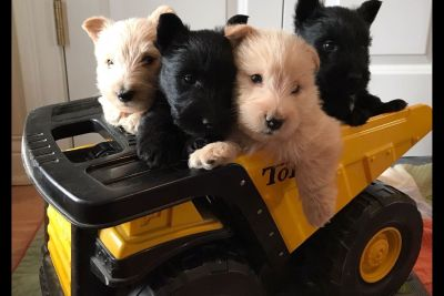 Afterglow Scottish Terrier Puppies