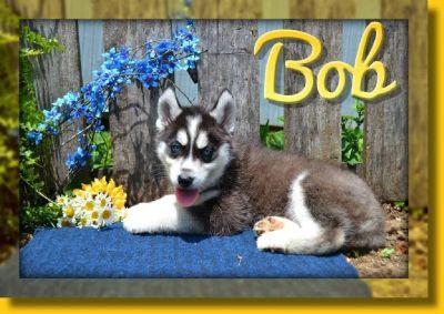Bob AKC Male Siberian Husky