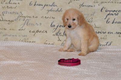 Goldendoodle-Poodle (Standard) Mix PUPPY FOR SALE ADN-104215 - Meet Cami F1bb Goldendoodle