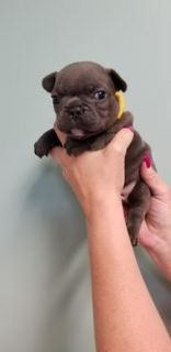 French Bulldog PUPPY FOR SALE ADN-74679 - REGISTERED FRENCH BULLDOGS FOR SALE