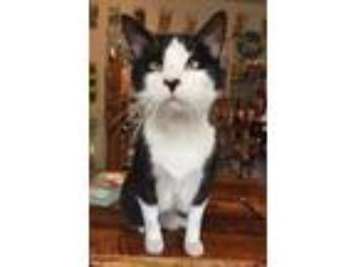 Adopt Davie a Black & White or Tuxedo Domestic Shorthair (short coat) cat in