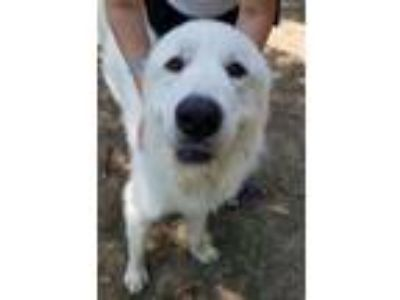 Adopt Jack a Great Pyrenees