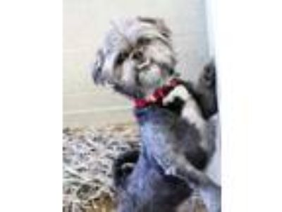 Adopt Max a Black Lhasa Apso / Mixed dog in Atlanta, GA (25883600)