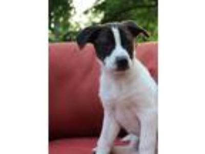 Adopt Captain a Black - with White Border Collie / Labrador Retriever / Mixed