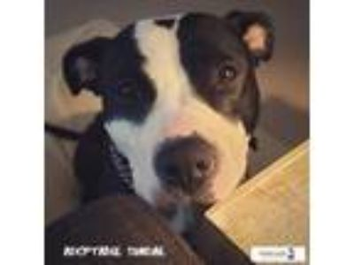 Adopt Sundae a Black - with White Pit Bull Terrier / Mixed dog in alexandria