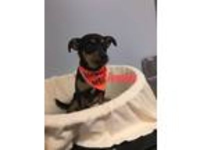 Adopt Bentley a Black - with Tan, Yellow or Fawn Miniature Pinscher dog in