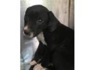 Adopt Faline a Labrador Retriever / Terrier (Unknown Type