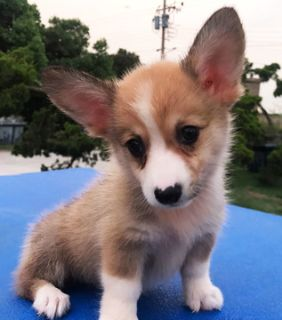 Pembroke Welsh Corgi PUPPY FOR SALE ADN-105380 - Pembroke Welsh Corgi Available To See In Person