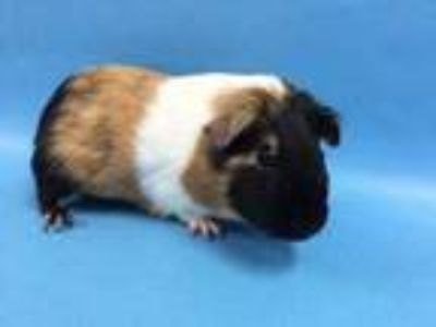 Adopt Katie Bouman a Tan or Beige Guinea Pig / Mixed small animal in St.