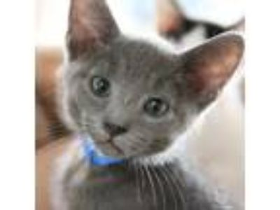 Adopt Landon a Domestic Short Hair