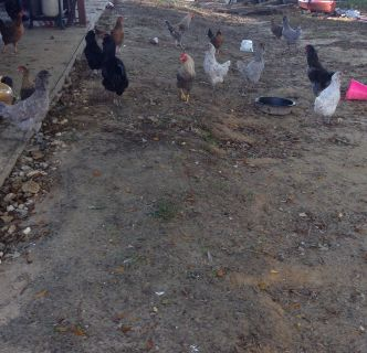 12 chickens and 3 roosters for sale