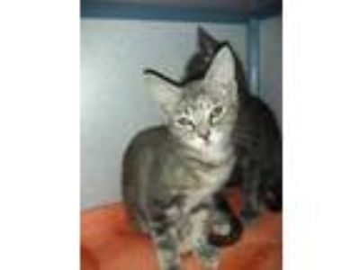 Adopt Suri a Gray or Blue Domestic Shorthair / Domestic Shorthair / Mixed cat in