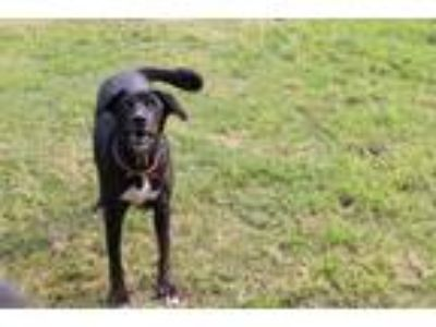 Adopt Ellie a Black - with White German Shepherd Dog / Labrador Retriever /