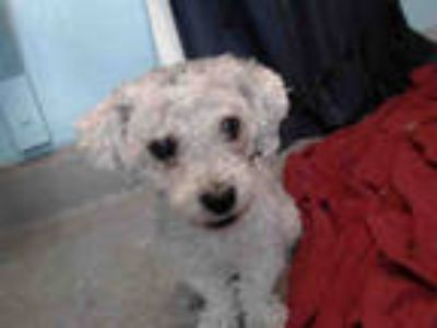 Adopt SNOOPY TEDDY a White Poodle (Miniature) / Mixed dog in Baldwin Park
