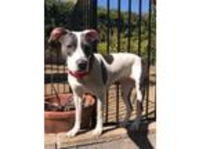 Adopt Stella Blue a White - with Gray or Silver American Pit Bull Terrier /