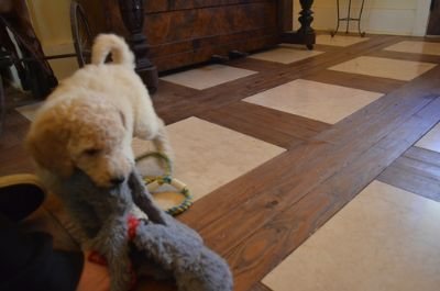 Goldendoodle PUPPY FOR SALE ADN-70485 - Beautiful litter of medium F1b puppies