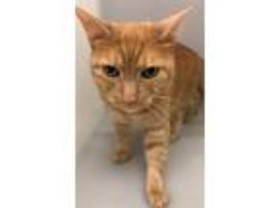 Adopt Chuck a Orange or Red Domestic Shorthair / Domestic Shorthair / Mixed cat