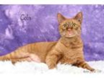 Adopt Cola a Orange or Red Domestic Shorthair / Domestic Shorthair / Mixed cat