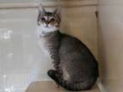 Adopt JINX a Brown Tabby Domestic Shorthair / Mixed (short coat) cat in