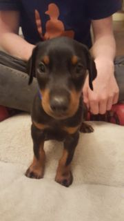 Purebred Doberman Pinscher Puppies AKC Certified