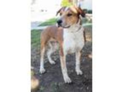 Adopt Valence a White - with Tan, Yellow or Fawn St. Bernard / Labrador