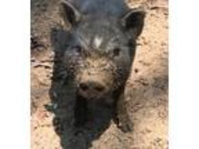 Adopt Catnip a Pig (Potbellied) farm-type animal in Asheville, NC (17912699)