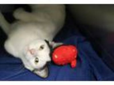 Adopt Flo a Domestic Short Hair