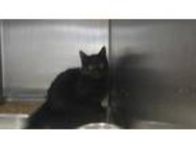 Adopt BALOO a All Black Domestic Shorthair / Mixed (short coat) cat in Fruit