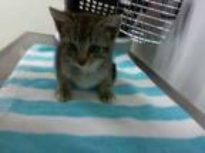 Adopt MARLO a Brown Tabby Domestic Shorthair / Mixed (short coat) cat in