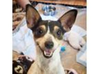 Adopt McKenna a White - with Black Rat Terrier / Mixed dog in Atlanta