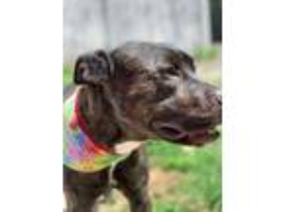 Adopt Deuce a Black American Pit Bull Terrier / Mixed dog in Waldorf
