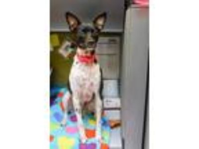 Adopt ALLIE a Black - with White Rat Terrier / Mixed dog in Aliquippa
