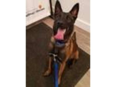 Adopt Jax a Red/Golden/Orange/Chestnut Belgian Malinois / Mixed dog in