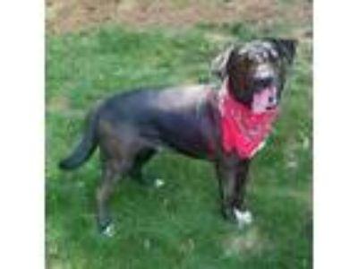 Adopt Henry a Labrador Retriever, Hound