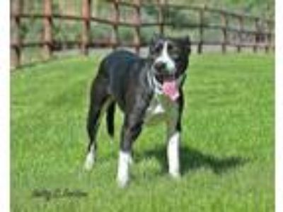 Adopt Evette a Pit Bull Terrier