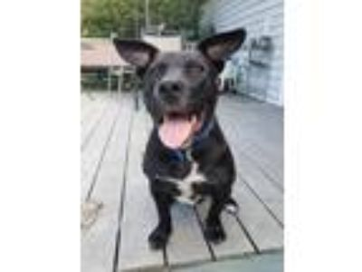 Adopt Rice a Black Labrador Retriever / Pit Bull Terrier / Mixed dog in Mankato