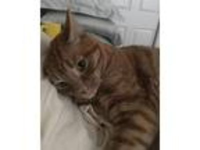 Adopt Gus a Orange or Red Tabby American Shorthair cat in San Diego