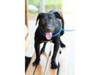 Adopt ZENA a Black - with White Labrador Retriever / Mixed dog in Houston