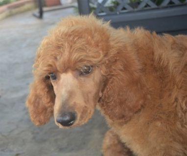 Poodle (Standard) PUPPY FOR SALE ADN-88317 - AKC Lil Gun