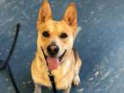 Adopt TY a Australian Cattle Dog / Blue Heeler