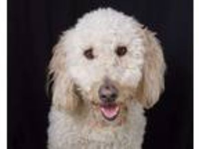 Adopt Baxter a Tan/Yellow/Fawn Golden Retriever / Poodle (Standard) / Mixed dog