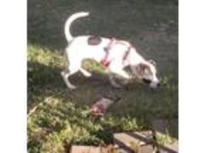 Adopt LunaLou a White - with Black Hound (Unknown Type) / Mixed dog in