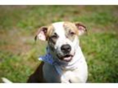 Adopt Willow a Brindle - with White Staffordshire Bull Terrier / Retriever