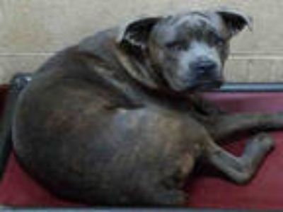 Adopt BO a Brindle - with White American Pit Bull Terrier / Mixed dog in